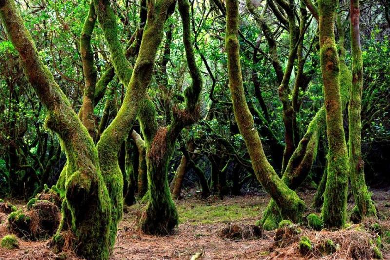 Лвровые леса Канар (laurisilva)