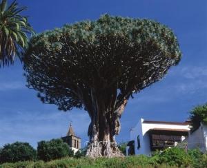 Драконовые деревья (dracaena draco) на Канарах